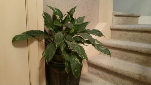 A Peace Lily can clean toxins out of the air!
